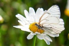 Άσπρο crataegi Aporia πεταλούδων Στοκ Φωτογραφίες