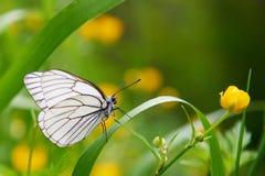 Άσπρο crataegi Aporia πεταλούδων Στοκ εικόνες με δικαίωμα ελεύθερης χρήσης