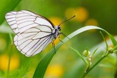 Άσπρο crataegi Aporia πεταλούδων Στοκ φωτογραφίες με δικαίωμα ελεύθερης χρήσης
