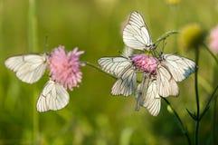 Άσπρο crataegi Aporia πεταλούδων Στοκ φωτογραφία με δικαίωμα ελεύθερης χρήσης