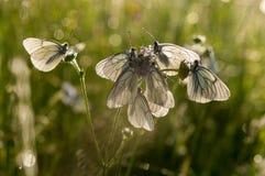 Άσπρο crataegi Aporia πεταλούδων Στοκ Εικόνες