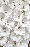 Άσπρο Delphiniums Στοκ φωτογραφία με δικαίωμα ελεύθερης χρήσης