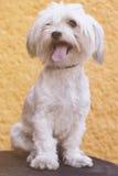Άσπρο Doggie σε ένα κίτρινο υπόβαθρο Στοκ Εικόνα