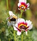 Άσπρο fastuosum venidium ή fastuosa Arctotis Στοκ Φωτογραφίες
