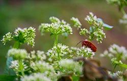 Άσπρο flowers†‹and†‹ένα red†‹insect†‹ στοκ εικόνα με δικαίωμα ελεύθερης χρήσης