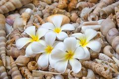 Άσπρο Frangini (Plumeria) Στοκ φωτογραφίες με δικαίωμα ελεύθερης χρήσης