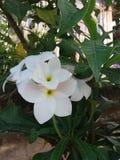 Άσπρο frangipani ή λουλούδι Plumeria στο δέντρο Στοκ εικόνα με δικαίωμα ελεύθερης χρήσης