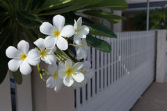 Άσπρο frangipani λουλούδι SPA plumeria τροπικό Στοκ φωτογραφίες με δικαίωμα ελεύθερης χρήσης