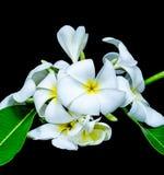 Άσπρο frangipani που απομονώνεται στο μαύρο υπόβαθρο στοκ εικόνες