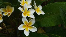Άσπρο frangipani απόθεμα βίντεο