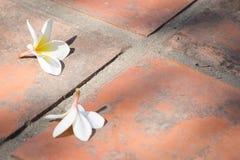 Άσπρο frangipani Στοκ εικόνες με δικαίωμα ελεύθερης χρήσης