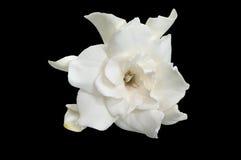Άσπρο gardenia Στοκ φωτογραφίες με δικαίωμα ελεύθερης χρήσης