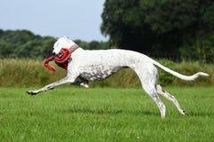 Άσπρο greyhound παιχνίδι με ένα παιχνίδι Στοκ Εικόνα