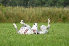 Άσπρο greyhound που κυλά γύρω στη χλόη Στοκ φωτογραφία με δικαίωμα ελεύθερης χρήσης
