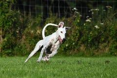Άσπρο greyhound τρέξιμο Στοκ εικόνες με δικαίωμα ελεύθερης χρήσης