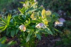 Άσπρο hybridus Helleborus hellebore Στοκ Εικόνες