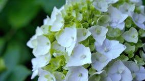 Άσπρο hydrangea με τα μικρά πράσινα φύλλα βίντεο κινήσεων από το οπίσθιο τμήμα στο μέτωπο απόθεμα βίντεο