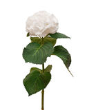 Άσπρο hydrangea Στοκ φωτογραφία με δικαίωμα ελεύθερης χρήσης