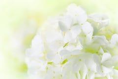Άσπρο Hydrangea Στοκ Φωτογραφίες