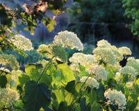 Άσπρο Hydrangea Annabelle Στοκ φωτογραφίες με δικαίωμα ελεύθερης χρήσης