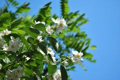 Άσπρο jasmine ανθίζει την άνθιση στους κλάδους των Μπους και ακακιών με τα φύλλα, υπόβαθρο ουρανού στοκ φωτογραφίες