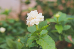 Άσπρο Jasmine λουλούδι Στοκ Φωτογραφίες