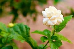 Άσπρο Jasmine λουλούδι Στοκ Εικόνα