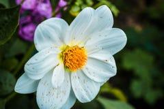 Άσπρο kosmeya λουλουδιών Στοκ εικόνες με δικαίωμα ελεύθερης χρήσης