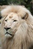 Άσπρο krugeri leo Panthera λιονταριών Στοκ Φωτογραφία