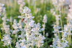 Άσπρο Lavender στοκ φωτογραφία με δικαίωμα ελεύθερης χρήσης