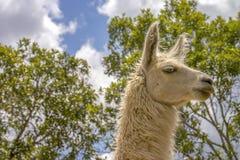 Άσπρο llama ενάντια σε μερικά threes και τον ουρανό στοκ εικόνες