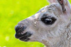 Άσπρο Llama πορτρέτο Στοκ Φωτογραφίες