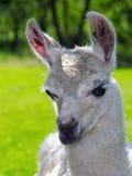 Άσπρο Llama πορτρέτο Στοκ Εικόνες