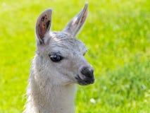 Άσπρο Llama πορτρέτο Στοκ εικόνα με δικαίωμα ελεύθερης χρήσης