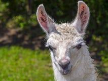 Άσπρο Llama πορτρέτο Στοκ Εικόνα