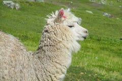 Άσπρο llama στο πράσινο λιβάδι στοκ φωτογραφία με δικαίωμα ελεύθερης χρήσης