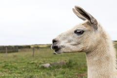 Άσπρο Llama Στοκ Εικόνες