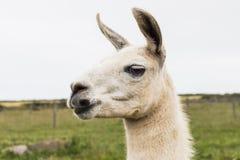 Άσπρο Llama Στοκ Φωτογραφία