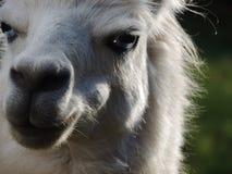 Άσπρο Llama Στοκ εικόνα με δικαίωμα ελεύθερης χρήσης