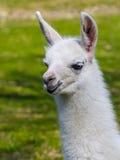 Άσπρο llama cria Στοκ εικόνα με δικαίωμα ελεύθερης χρήσης