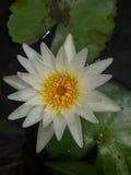 Άσπρο Lotus άνθισης στο νερό Στοκ Φωτογραφίες