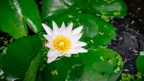 Άσπρο Lotus, κίτρινη γύρη Στοκ φωτογραφία με δικαίωμα ελεύθερης χρήσης