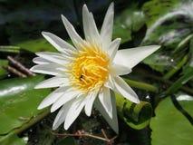 Άσπρο Lotus με το έντομο Στοκ Εικόνες