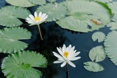 Άσπρο Lotus στη λίμνη λωτού σε μια ηλιόλουστη ημέρα Στοκ Εικόνες