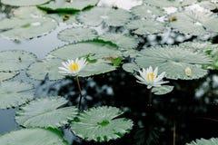Άσπρο Lotus στη λίμνη λωτού σε μια ηλιόλουστη ημέρα Στοκ φωτογραφίες με δικαίωμα ελεύθερης χρήσης