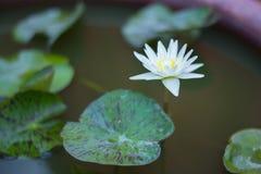 Άσπρο Lotus της πίστης Στοκ φωτογραφία με δικαίωμα ελεύθερης χρήσης