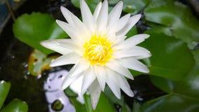 Άσπρο Lotus της Ταϊλάνδης στο λουτρό Στοκ Εικόνα