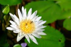 Άσπρο Lotus Στοκ εικόνες με δικαίωμα ελεύθερης χρήσης