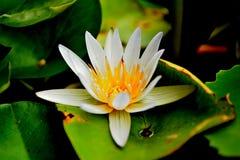 Άσπρο Lotus Στοκ εικόνα με δικαίωμα ελεύθερης χρήσης