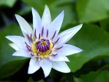 Άσπρο Lotus Στοκ Φωτογραφία